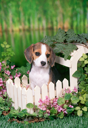 PUP 09 FA0018 01 © Kimball Stock Beagle Puppy Sitting Behind White Picket Fence By Pond