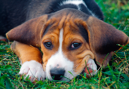 PUP 09 GR0042 01 © Kimball Stock Close-Up Of Beagle Puppy Laying On Grass