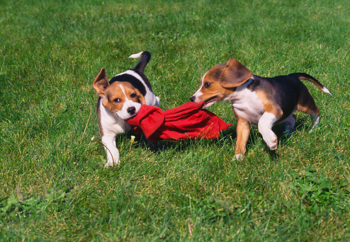 PUP 09 GR0045 01 © Kimball Stock Two Beagle Puppies Playing With Red Cloth On Grass