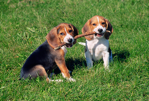 PUP 09 GR0047 01 © Kimball Stock Two Beagle Puppies Holding Stick Sitting On Grass