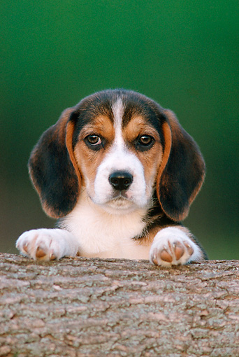 PUP 09 GR0049 01 © Kimball Stock Head Shot Of Beagle Puppy Looking Over Log