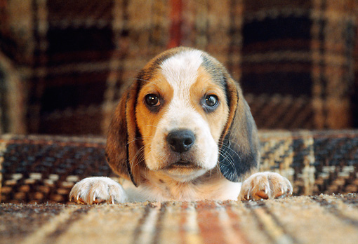 PUP 09 GR0050 01 © Kimball Stock Head Shot Of Beagle Puppy Looking Over Cushion