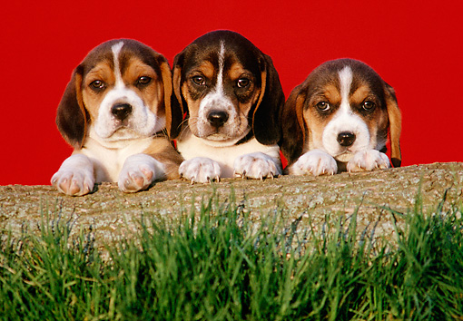 PUP 09 GR0052 01 © Kimball Stock Beagle Puppies Leaning On Log