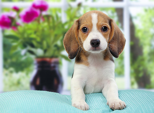 PUP 09 JE0008 01 © Kimball Stock Beagle Puppy Sitting On Blue Couch With Flowers