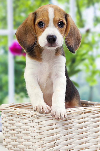PUP 09 JE0009 01 © Kimball Stock Beagle Puppy Sitting In Basket