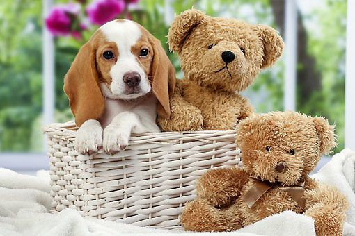 PUP 09 JE0010 01 © Kimball Stock Beagle Puppy Sitting In Basket With Teddy Bears