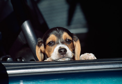 PUP 09 JN0002 01 © Kimball Stock Beagle Puppy Resting Head On Car Window