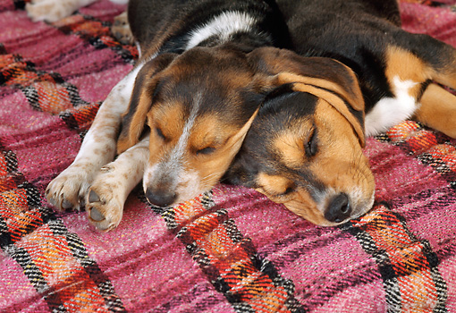 PUP 09 RC0007 01 © Kimball Stock Close-Up Of Beagle Puppies Sleeping On Plaid Blanket