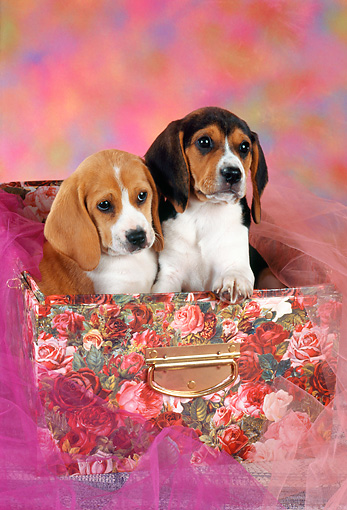 PUP 09 RC0008 01 © Kimball Stock Beagle Puppies Sitting Inside Box With Floral Design And Pink Tulle