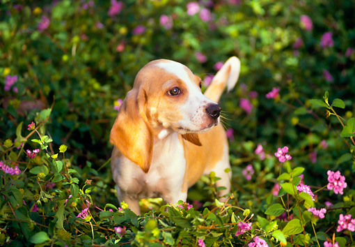 PUP 09 RK0020 02 © Kimball Stock Beagle Puppy Standing In Purple Flower Garden