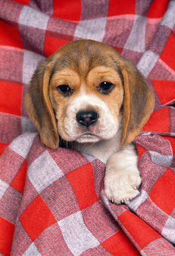 PUP 09 RK0034 02 © Kimball Stock Head Shot Of Beagle Wrapped In Red Checkered Blanket