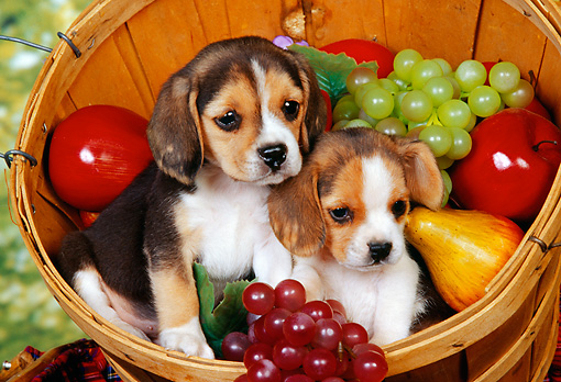 PUP 09 RK0042 19 © Kimball Stock Two Beagle Puppies Sitting In Basket With Fruit Studio