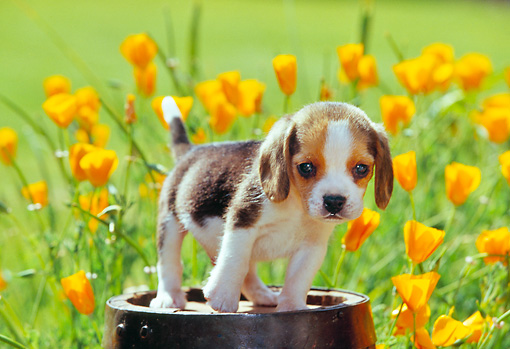PUP 09 RK0046 01 © Kimball Stock Beagle Puppy Standing On Wooden Barrel By Yellow Flowers