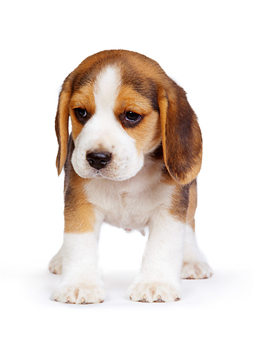 PUP 09 RK0067 01 © Kimball Stock Beagle Puppy Standing Facing Camera On White Carpet