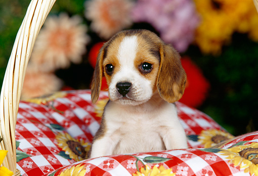 PUP 09 RK0094 03 © Kimball Stock Beagle Puppy Sitting In Picnic Basket With Red And White Cloth