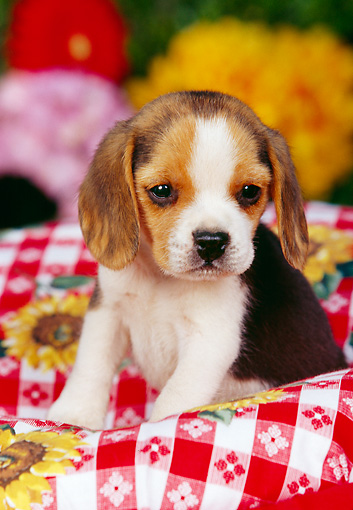 PUP 09 RK0095 04 © Kimball Stock Beagle Puppy Sitting In Picnic Basket With Red And White Cloth