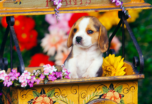 PUP 09 RK0106 04 © Kimball Stock Beagle Puppy Standing In Flower Cart