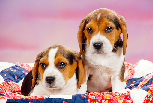 PUP 09 RK0127 03 © Kimball Stock Two Beagle Puppies Laying And Sitting In Basket Together Pink Background