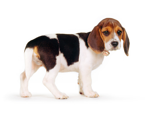 PUP 09 RK0141 01 © Kimball Stock Beagle Puppy With Collar Standing On White Seamless Looking Back