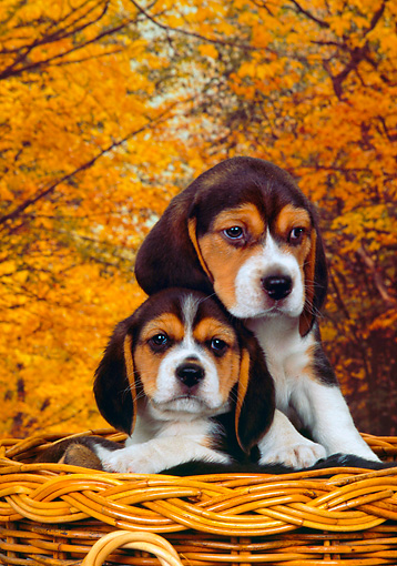 PUP 09 RK0144 01 © Kimball Stock Head Shot Of Two Beagle Puppies Sitting In Basket Fall Leaves Background