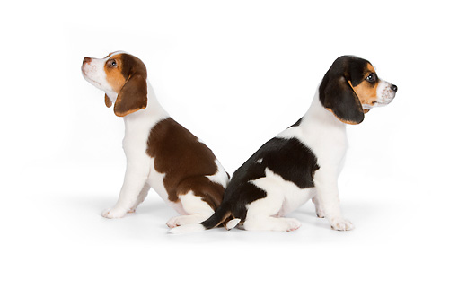 PUP 09 RK0199 01 © Kimball Stock Two Beagle Puppies Sitting On White Seamless