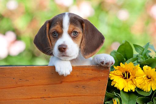 beagle puppy peeking out of flower box by flowers kimballstock