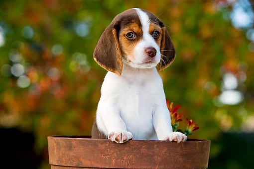 PUP 09 RK0202 01 © Kimball Stock Beagle Puppy Peeking Out Of Flower Pot