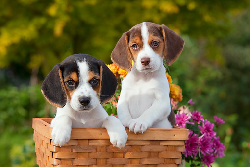 PUP 09 RK0207 01 © Kimball Stock Beagle Puppies Sitting In Basket By Flowers