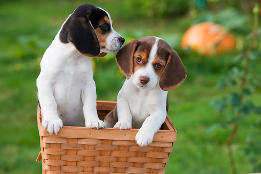 PUP 09 RK0208 01 © Kimball Stock Beagle Puppies Sitting In Basket On Grass