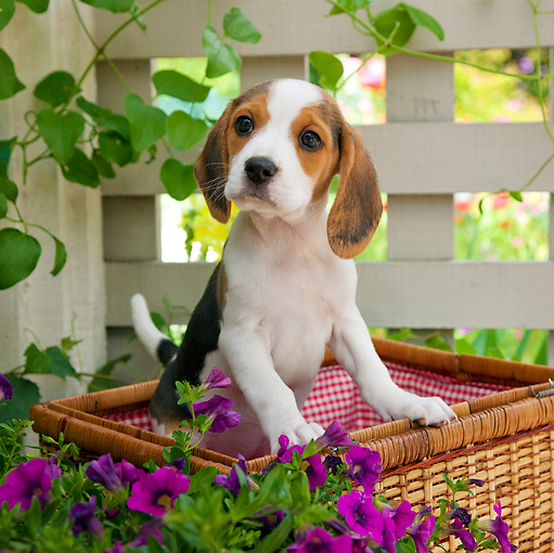 PUP 09 RK0211 01 © Kimball Stock Beagle Puppy Standing In Picnic Basket In Garden