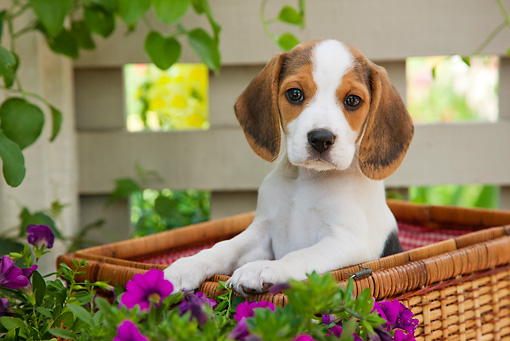 PUP 09 RK0212 01 © Kimball Stock Beagle Puppy Sitting In Picnic Basket In Garden