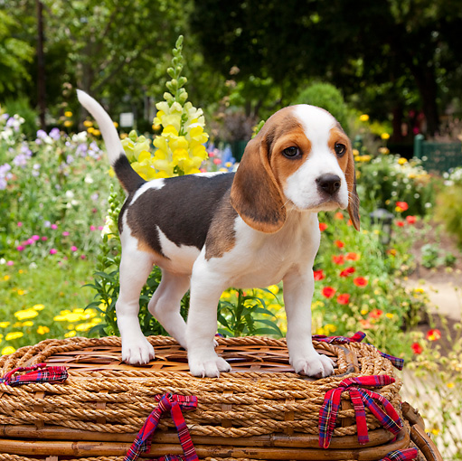 PUP 09 RK0213 01 © Kimball Stock Beagle Puppy Standing On Picnic Basket In Garden