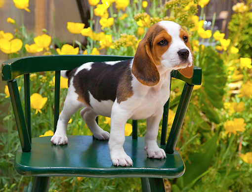 PUP 09 RK0214 01 © Kimball Stock Beagle Puppy Standing On Green Chair In Garden