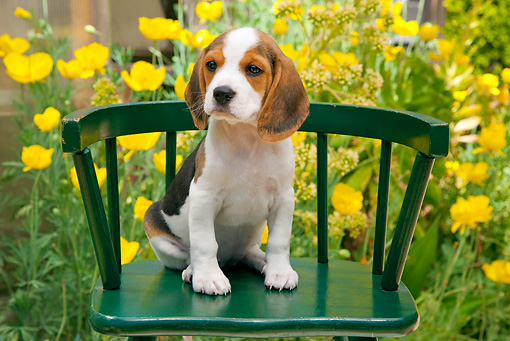 PUP 09 RK0215 01 © Kimball Stock Beagle Puppy Sitting On Green Chair In Garden
