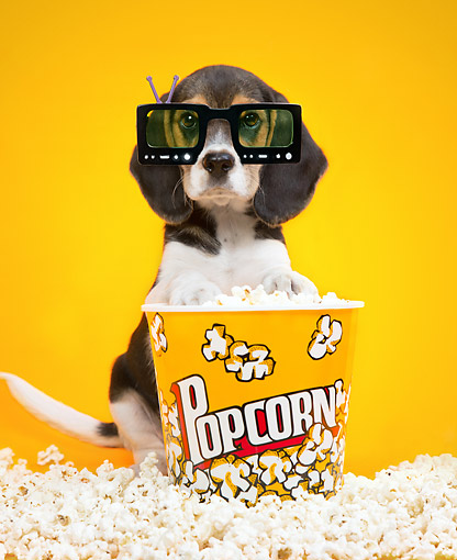 PUP 09 XA0002 01 © Kimball Stock Beagle Wearing 3-D Glasses In Movie Popcorn