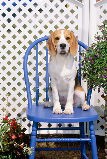 PUP 09 CE0009 01 © Kimball Stock Beagle Puppy Sitting On Blue Wooden Chair By Lattice