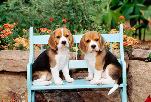 PUP 09 CE0012 01 © Kimball Stock Two Beagle Puppies Sitting On Bench By Flowers
