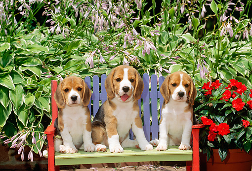 PUP 09 CE0013 01 © Kimball Stock Three Beagle Puppies Sitting On Bench By Flowers