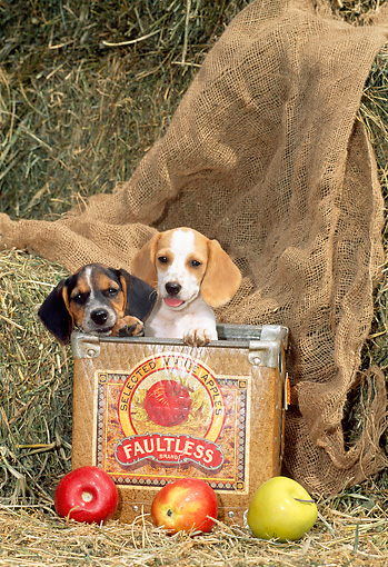 PUP 09 CE0014 01 © Kimball Stock Two Beagle Puppies Sitting In Apple Box By Hay Bales