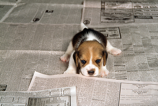 PUP 09 DC0002 01 © Kimball Stock Beagle Puppy Laying On Newspaper