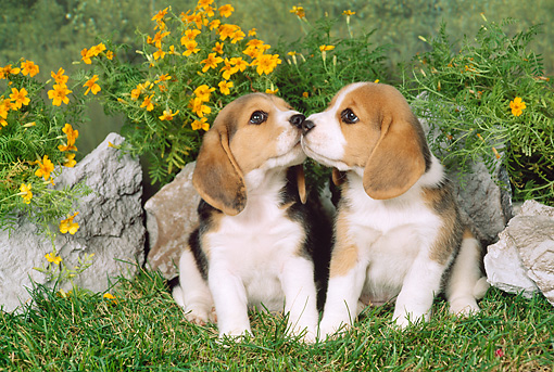 PUP 09 FA0001 01 © Kimball Stock Two Beagle Puppies Sitting On Grass By Flowers