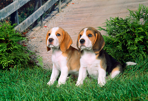 PUP 09 FA0002 01 © Kimball Stock Two Beagle Puppies Sitting On Grass By Shrubs And Bridge