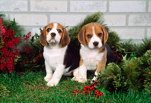 PUP 09 FA0005 01 © Kimball Stock Two Beagle Puppies Sitting On Grass By Christmas Decorations And Brick Wall