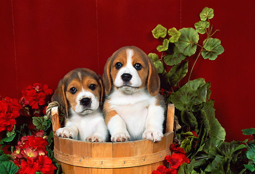 PUP 09 FA0006 01 © Kimball Stock Two Beagle Puppies Sitting In Wooden Bucket By Flowers Red Wall