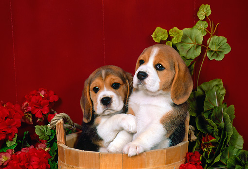 PUP 09 FA0007 01 © Kimball Stock Two Beagle Puppies Sitting In Wooden Bucket By Flowers Red Wall