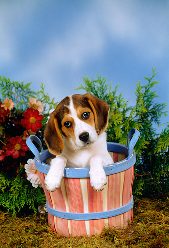 PUP 09 FA0012 01 © Kimball Stock Beagle Puppy Sitting In Basket By Flowers