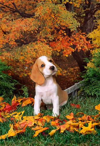PUP 09 FA0014 01 © Kimball Stock Beagle Puppy Sitting By Autumn Leaves