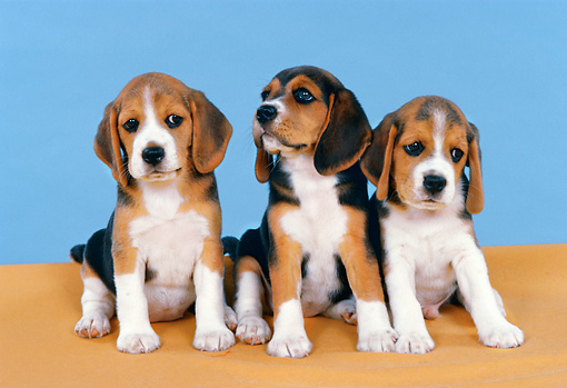 PUP 09 FA0017 01 © Kimball Stock Three Beagle Puppies Sitting By Light Blue Background Studio