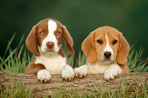 PUP 09 GR0003 01 © Kimball Stock Head Shot Of Two Beagle Puppies On Log