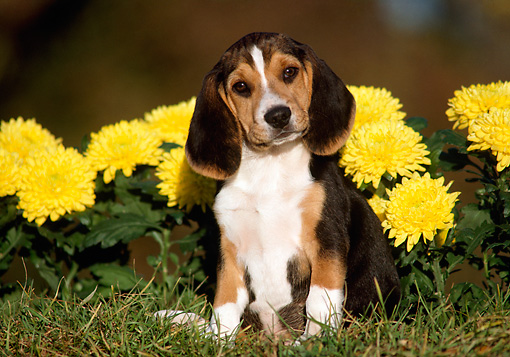 PUP 09 GR0007 01 © Kimball Stock Beagle Puppy Sitting On Grass By Yellow Flowers